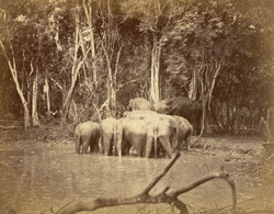 Wild elephants having a 'powwow' after bathing! [Ceylon.]